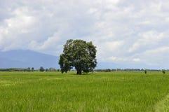 Красивое дерево в поле небо стоковые фотографии rf