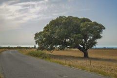 Красивое дерево мистики около дороги на поле Стоковые Изображения RF