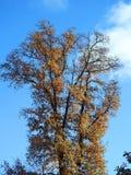 Красивое дерево осени, Литва Стоковое Фото