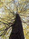 Красивое дерево осени, Литва Стоковая Фотография