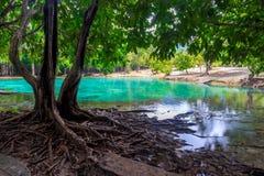 Красивое дерево с branchy корнями на предпосылке emera стоковое фото rf