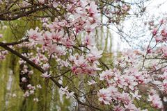 Красивое дерево цветения магнолии с розовыми цветками в сезоне парка весной стоковое изображение rf