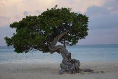 Красивое дерево Divi Divi Стоковые Изображения RF