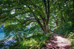 Красивое дерево в пеших путях берега озера Biogradsko Стоковая Фотография RF
