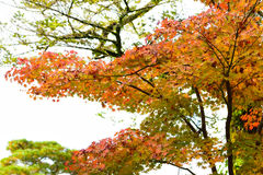 Красивое дерево клена Стоковые Изображения RF