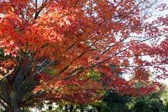 Красивое дерево с красными листьями стоковые изображения