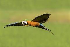 Красивое летание птицы в предпосылке природы Стоковая Фотография RF