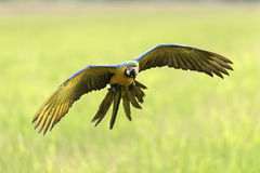 Красивое летание птицы на запачканной предпосылке Стоковые Изображения RF