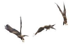Красивое летание птицы сокола (черного змея) в изоляте неба дальше стоковое изображение
