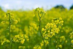 Красивое желтое поле мустарда в сельском районе Стоковые Фотографии RF