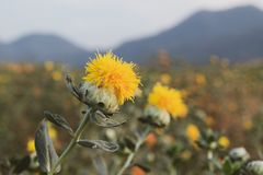 Красивое желтое safflowe в предпосылке природы, tincto Carthamus Стоковое Изображение RF