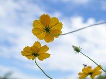 Красивое желтое starship цветет в предпосылке голубого неба сада Стоковое Изображение RF