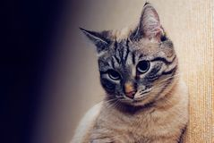 Красивое задумчивое, скромный, взгляд кота серьезный, конец-вверх стоковая фотография rf