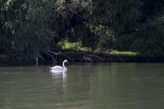 Красивое заплывание лебедя в реке Стоковое Изображение RF