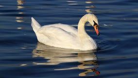 Красивое заплывание лебедя Стоковые Фотографии RF