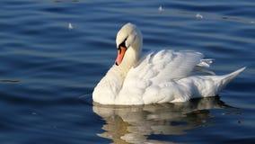 Красивое заплывание лебедя Стоковая Фотография