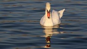 Красивое заплывание лебедя Стоковые Изображения