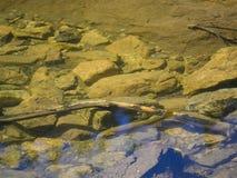 Красивое заплывание радужной форели в озере Стоковые Изображения RF