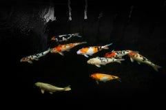 Красивое заплывание рыб koi карпа в пруде на саде стоковая фотография