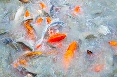Красивое заплывание рыб koi карпа в пруде стоковые фото