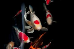 Красивое заплывание рыб koi карпа в пруде стоковое изображение rf