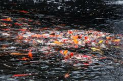 Красивое заплывание рыб koi карпа в пруде стоковые изображения
