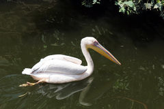 Красивое заплывание лебедя на египетском зоопарке стоковые изображения rf