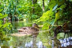 Красивое заплывание дикой утки в озере Стоковая Фотография