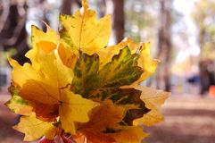 Красивое зарево листьев осени в солнце Букет пастбища осени Стоковые Изображения