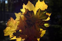 Красивое зарево листьев осени в солнце Букет пастбища осени Стоковая Фотография RF
