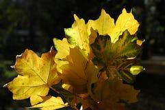 Красивое зарево листьев осени в солнце Букет пастбища осени Стоковые Изображения RF