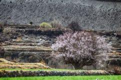 Красивое зацветая вишневое дерево на яркой ой-зелен траве Стоковые Фото