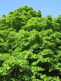 Красивое зеленое дерево в мае Стоковое Изображение RF