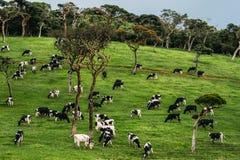 Красивое зеленое поле где коровы пасут Стоковое Фото