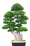 Красивое зеленое дерево изолированное на белой предпосылке Стоковые Фотографии RF