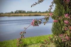 красивое зеленое дерево с красными цветками на предпосылке реки и сада Стоковая Фотография RF