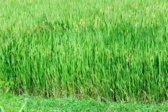 Красивое зеленое поле рисовых полей bali Индонесия сфотографировал террасу риса Стоковые Изображения RF