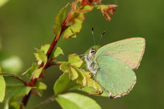 Красивое зеленое rubi Callophrys бабочки Hairstreak садилось на насест на лист Стоковое фото RF