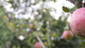 Красивое зрелое сочное красное яблоко на ветви дерева сток-видео