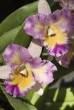 Красивое изображение изумительного цветка фуксии, белых и желтых Стоковые Изображения