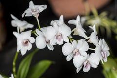 Красивое изображение изумительных белых маленьких цветков назвало Dendrob Стоковое Изображение RF