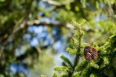 Красивое изображение 2 конусов вися в елевом/ели Стоковое фото RF