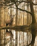 Красивое изображение ландшафта неподвижного потока в лесе района озера с красивым зрелым Cervus Elaphus рогача красных оленей сре стоковые изображения
