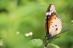 Красивое изображение неизрасходованного запаса королевской власти бабочки стоковая фотография