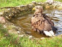 Красивое изображение орла стоковая фотография rf
