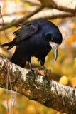 Красивое изображение птицы - ворон/ворона в природе осени Frugilegus Corvus Стоковые Изображения RF