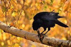 Красивое изображение птицы - ворон/ворона в природе осени Frugilegus Corvus Стоковая Фотография