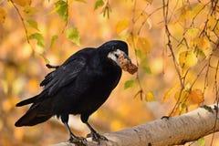 Красивое изображение птицы - ворон/ворона в природе осени Frugilegus Corvus Стоковые Фото