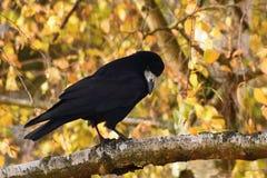 Красивое изображение птицы - ворон/ворона в природе осени Frugilegus Corvus Стоковое Фото