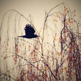 Красивое изображение птицы - ворон/ворона в природе осени (Frugilegus Corvus) Стоковое Фото